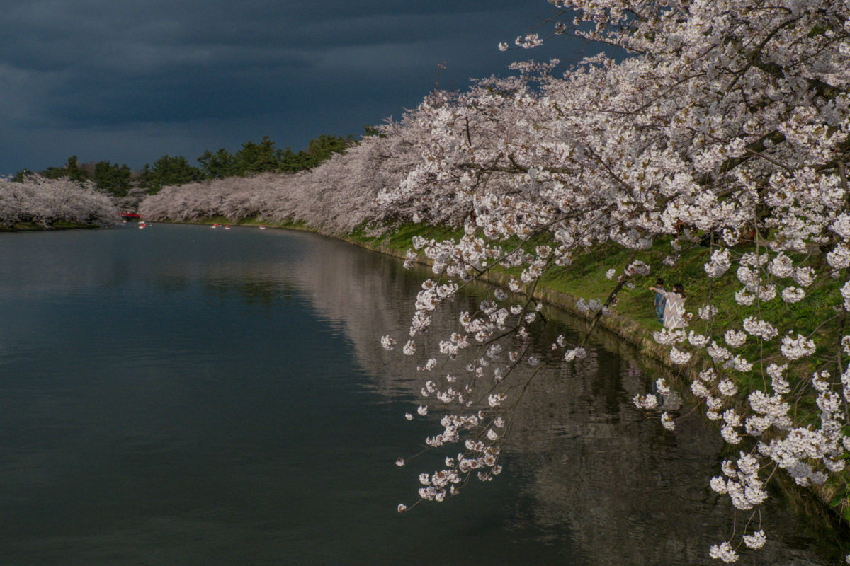 Cherry Blossoms Along The Lake