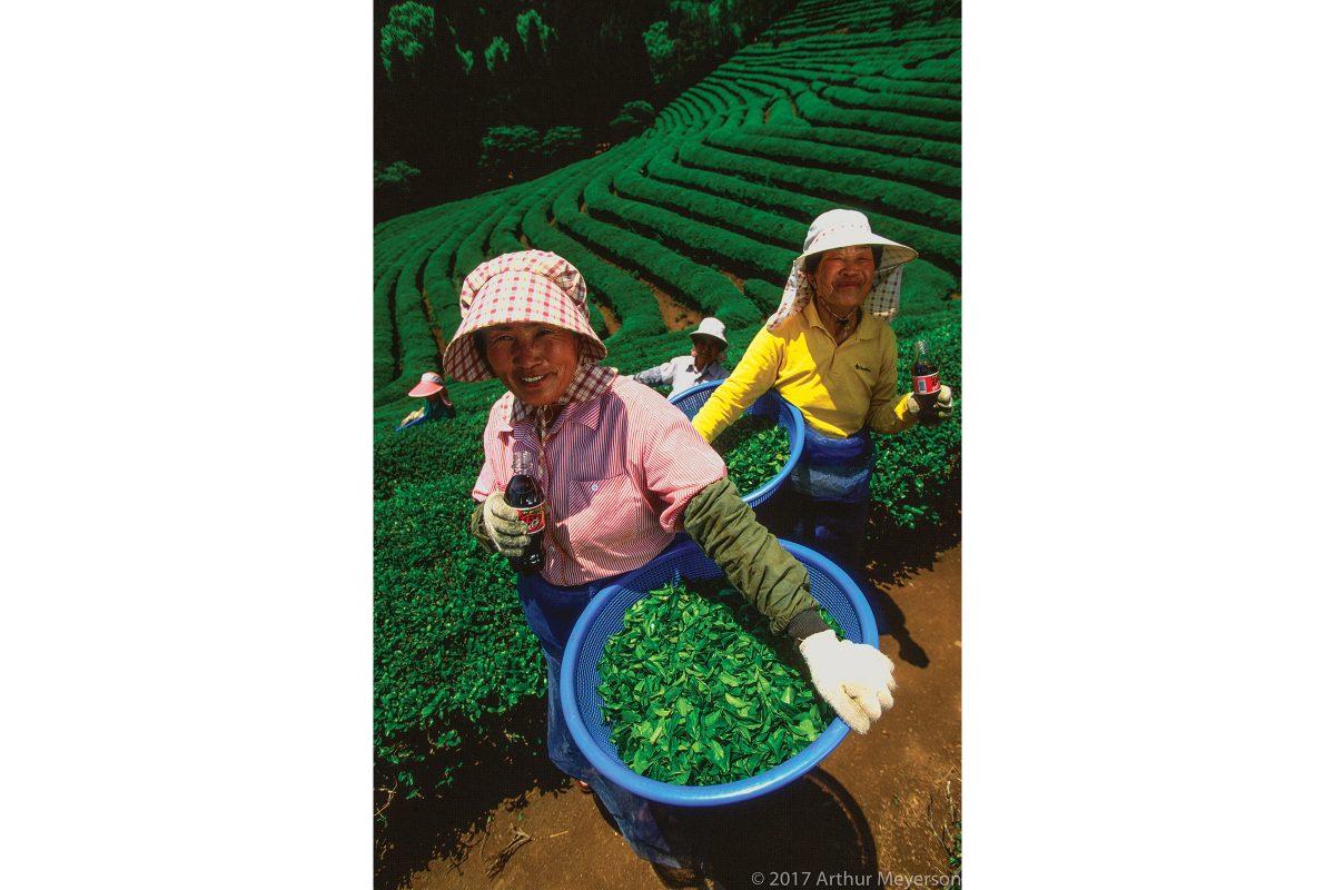 Tea Plantation, South Korea