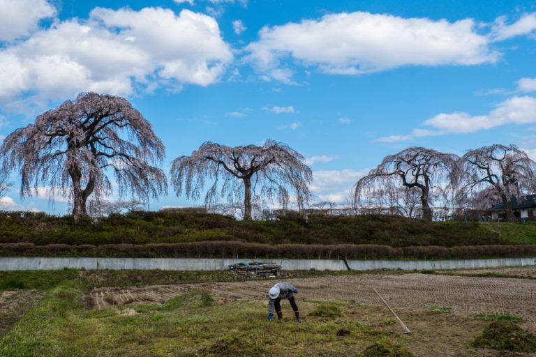 Four Cherry Blossom Trees