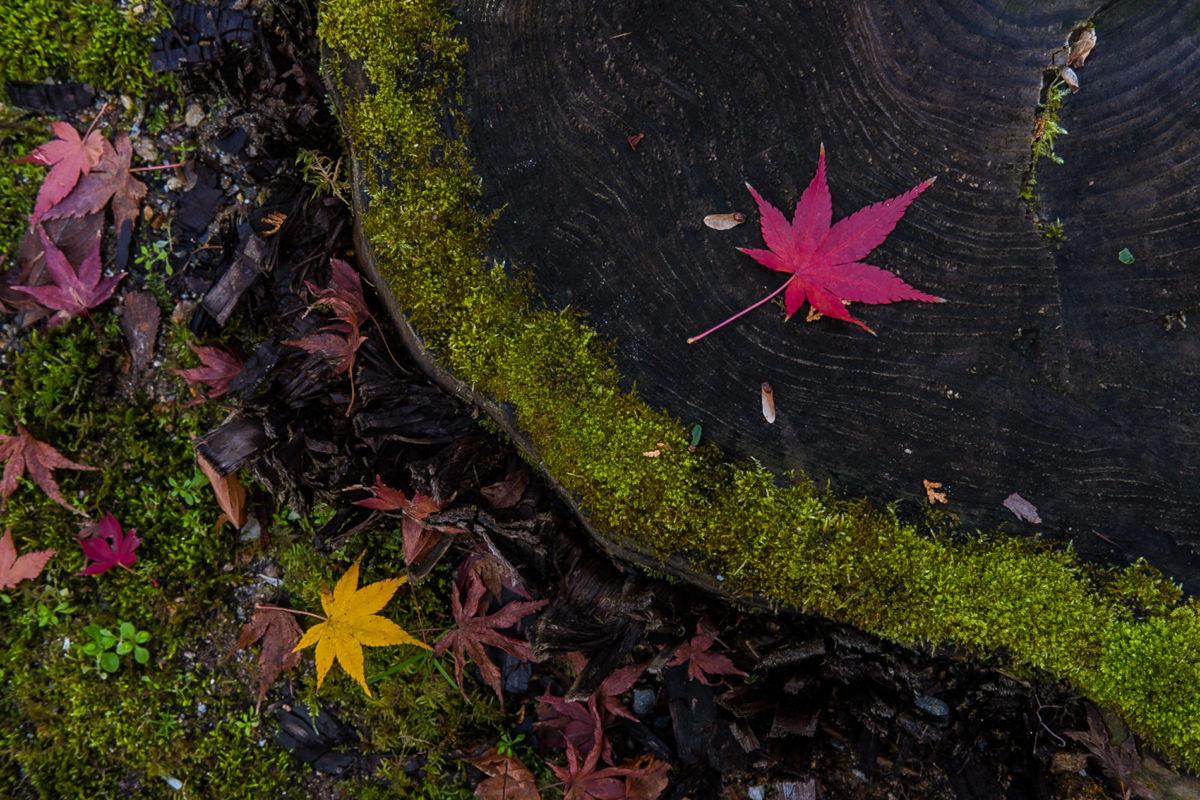 2 Maple Leaves